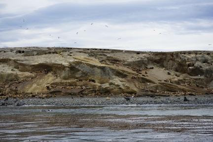 Lions de mer - Isla Magdalena, Chili