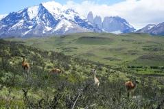 Guanacos - Torres del Paine, Chili