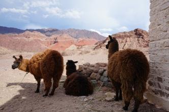 Lamas sur la route 40 - Argentine