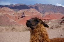 Lama - Quebrada de Las Conchas, Argentine