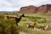 Lamas dans les Andes - Frontière Argentine Chili
