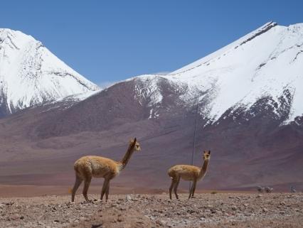 Lama - frontière Chili Bolivie (Atacama)