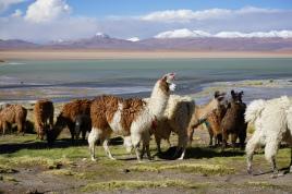 Lamas - Hito Cajon, Altiplano, Bolivie
